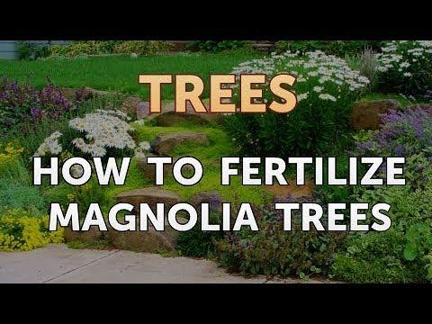 How To Fertilize Magnolia Trees Youtube