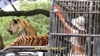 Beauty Feeding the Beasts, Tigers at Bangkok Safari World  バンコク・サファリ・ワールドのトラの餌やり