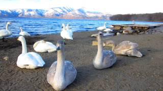 屈斜路湖にて、白鳥さんが後方から飛んできたカラスに驚いた!!!笑.