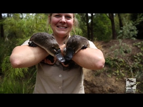 Meet our platypus twins!