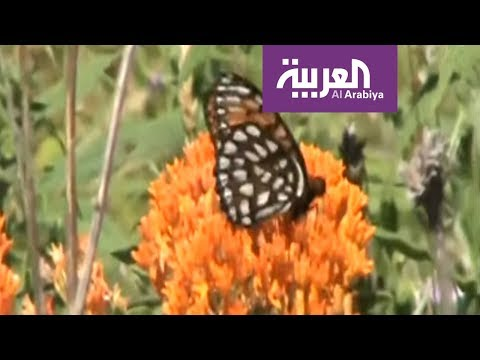 صباح العربية  الفراشات تجتاح لبنان  - نشر قبل 51 دقيقة
