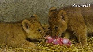 釧路市動物園のライオン、アキラ(オス/6歳)とゆうき(メス/5歳)の間に、 ...
