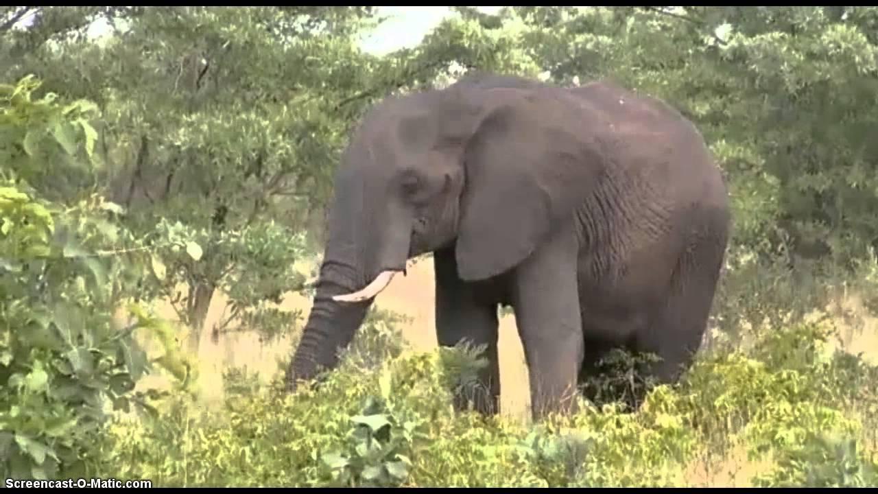 Elephant Eating Marula Fruit - Wildearth Safari Live Am -3759