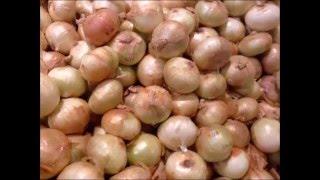WSZYSTKO o uprawie - Cebula - uprawa warzyw | infoUprawa