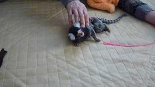楽しそうに遊ぶコジロウ2 コモンマーモセット marmoset