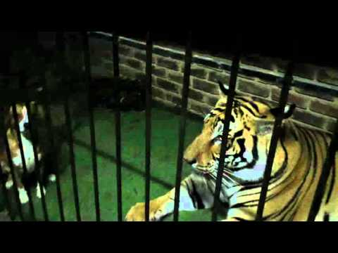 OMG ! one of the dogs just went in by the tigers !