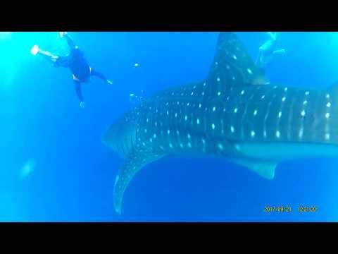 Biggest Whale Shark Puerto Princesa Palawan 2017