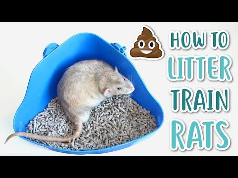 HOW TO LITTER TRAIN RATS!