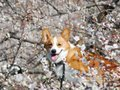 (HD) Goro@Welsh corgi 20090206 Japanese apricot