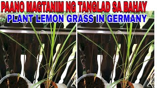 Growing Lemon grass From the Grocery|How to Grow lemon grass|Grow Tanglad In a Container|Lemon Grass