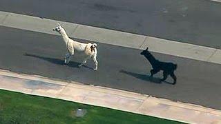 llamas make a dash for freedom