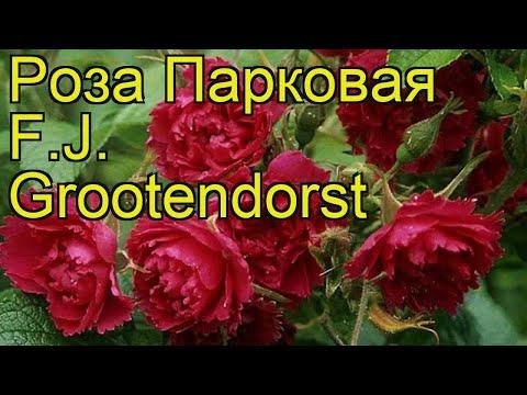 Роза парковая Эф джей грутендорст. Краткий обзор, описание характеристик F.J. Grootendorst