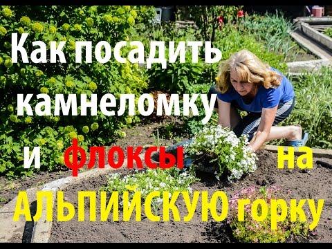 Вопрос: Как бедрец- камнеломку не спутать с ядовитими зонтичными растениями?