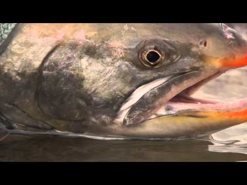 Simms Fishing: Char On The Tree River, NWT Canada