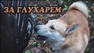 Охота на глухаря с собакой видео