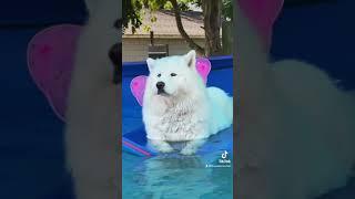 Beautiful Husky Floating