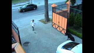 Собака выбегает за ворота - высший пилотаж дрессировки