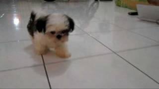 Beautiful Mini Shih Tzu Puppy