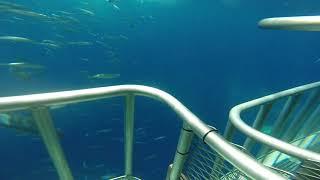 Great White Shark close encounter collision!!! Tubarão Branco bate em nossa jaula!!!
