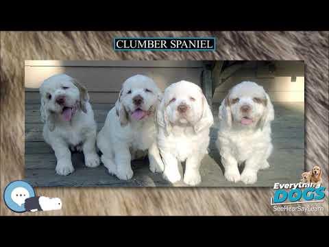 Clumber Spaniel  Everything Dog Breeds