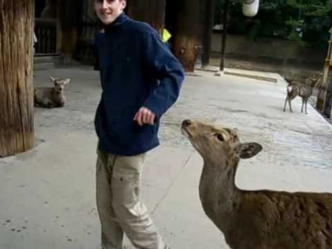 Attacked by a deer in nara