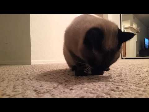 Cat gets mad because he thinks the Jackson Galaxy toy bug is real!