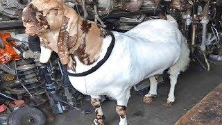 AC- कूलर में रहता है ये बकरा, काजू-बादाम और दूध है इसकी डाइट