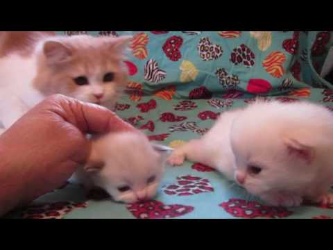 RagaMuffin kittens at 18 days