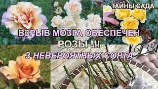 РОЗЫ от ЖАННЫ. ТРИ НЕВЕРОЯТНЫХ СОРТА. ОБЗОР САЖЕНЦЕВ И ГДЕ КУПИТЬ ХОРОШИЕ РОЗЫ. Сильные сорта роз.