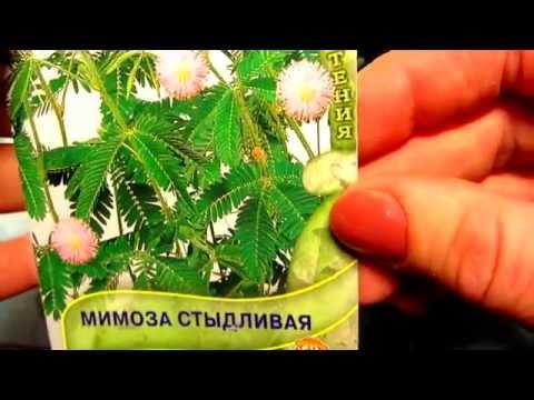 Мимоза стыдливая - НЕДОТРОГА