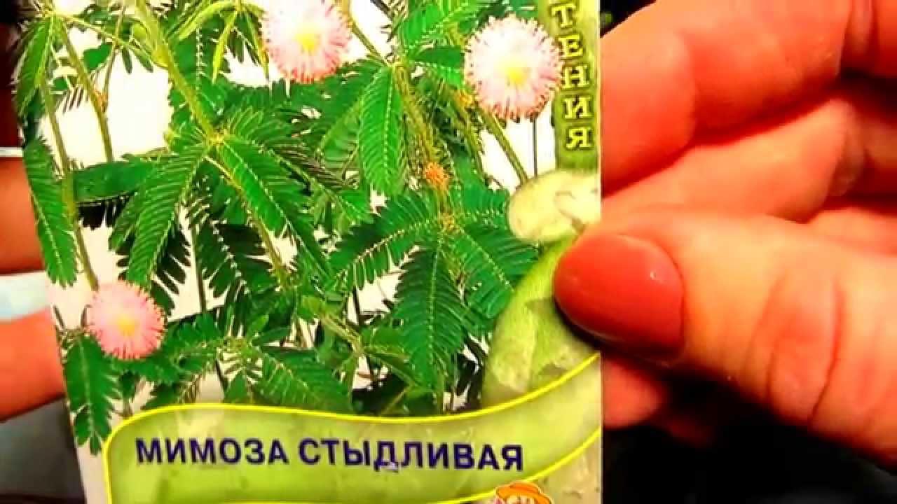 Мимоза Стыдливая (Mimosa pudica - The Sensitive Plant) - YouTube