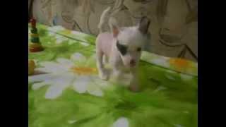 Питомник в Мурманской области предлагает к продаже щенков китайской хохлатой собаки