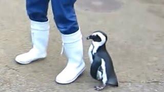 Пингвины - милые и смешные пингвины. Видео Сборник - [NEW HD]
