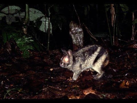 Elusive Sumatran rabbit caught on film