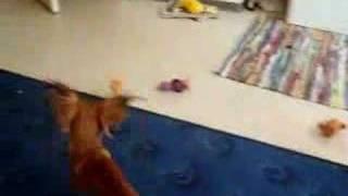 my dog (iris safira frappe) playing .wheighing 1kg .2 and a half ye...