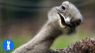 Cheeky Ostrich Attacks  - FUNNIEST compilation
