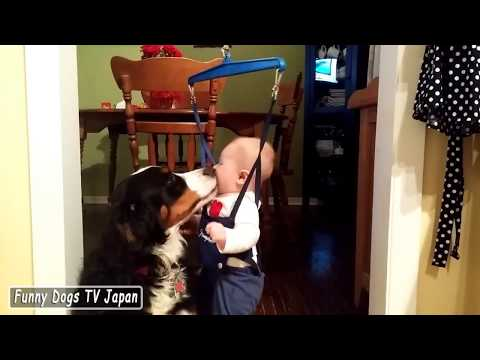 Little Girl Dancing with Bernese Mountain Dog! - Funny Dogs and Babies Compilation 2017