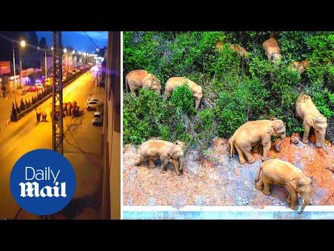 Crazy moment wild elephants walk through China's Kunming city after 500km journey