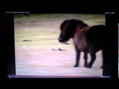 Horse Killing & Eating Baby Birds - Discussing Horse's Diet Do Horses Eat Meat