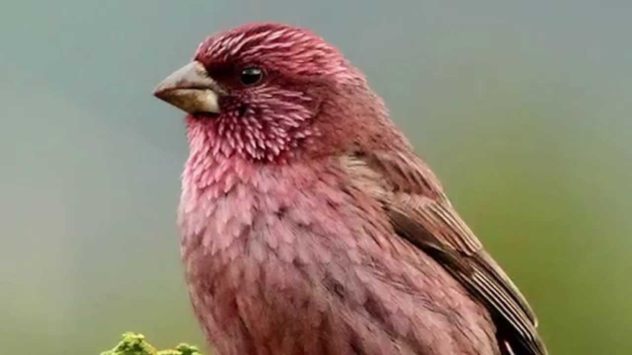 Звуки Природы.  Пение птиц - Чечевица - Голоса птиц.