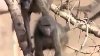 Yala Crocodile attacks monkey2 Animal attack Top ten10@animal