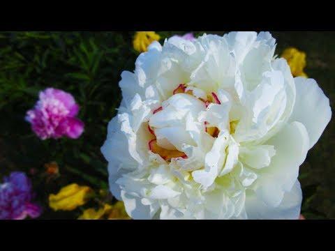 Peony Flowering | Types of Peony Flowers | Peony varieties names