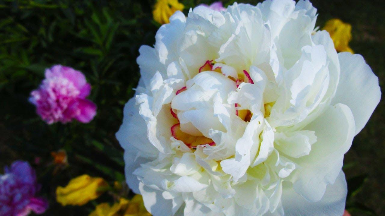 Peony Flowering | Types of Peony Flowers | Peony varieties names ...