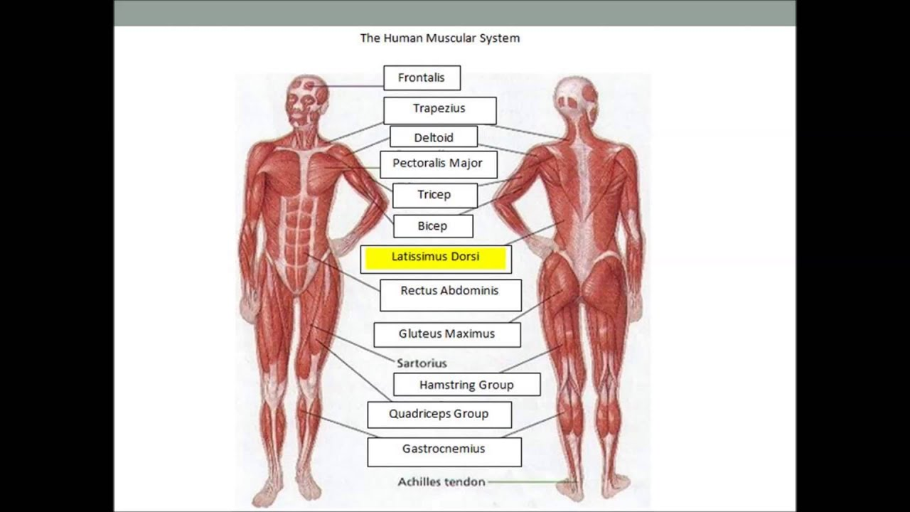 The Human Muscular System Youtube