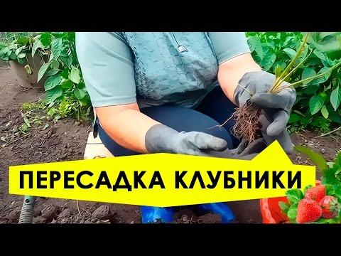 Как пересадить клубнику на новое место летом видео