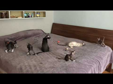 7 weeks old Cornish Rex kittens having FUN