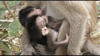 Twin Baby Monkey Getting Milk From Mom_ Cute Babies Twins