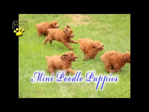 Mini Poodle Puppies