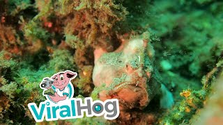 Frogfish Hunting || ViralHog