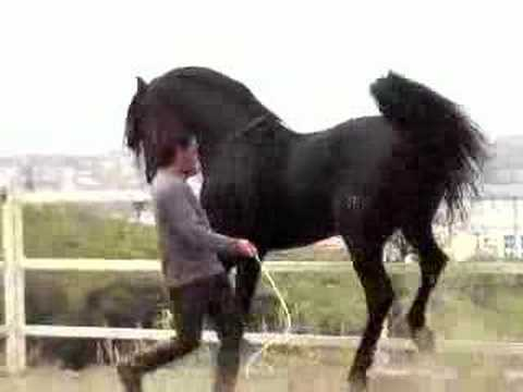 PURE BLACK ANDALUCIAN STALLION - PIAFFE